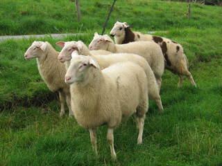Schafe auf der Weide - Tiere, Schafe, Schafsböcke, Weide, Wolle, Schafzucht