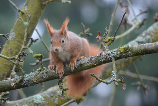 Eichhörnchen #1 - Eichhörnchen, Hörnchen, Sciurus vulgaris, Eichkätzchen, Eichkater, Nagetier, Katteker, Baumbewohner, Einzelgänger, Allesfresser, klettern, springen, Äste, Zweige, tagaktiv