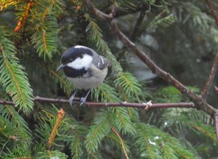 Tannenmeise - Vogel, Sperlingsvogel, Singvogel, Meise, Meisen, Paridae, Periparus ater, Parus ater