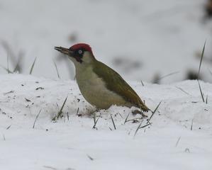 Grünspecht im Winter - Vogel, Gartenvogel, Winter, Specht, Grünspecht, Grasspecht, Erdspecht