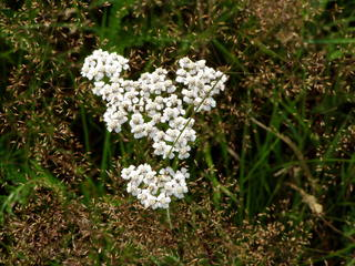 Gemeine Schafgarbe - HSU, Natur, Pflanzen, Wiesenpflanze, Kräuter, Blütenstand, Schafgarbe, Dolde