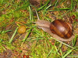 Weinbergschnecke - Biologie, Tiere, Weichtiere, Schnecke, Schnecken, langsam, Schneckenhaus