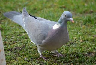 Ringeltaube - Ringeltaube, Vogel, Taube, Columba palumbus, Taubenvögel, Feldtauben, Garten
