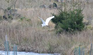 Silberreiher #2 - Vogel, Schreitvögel, Reiher, Tagreiher, Casmerodius albus
