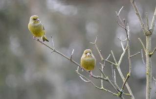 Grünfinken - Grünfink, Grünling, Carduelis chloris, Singvogel, Sperlingsvogel, Finken, Vogel, Stieglitzartige, Zeisige, Winter, Frost, Hunger