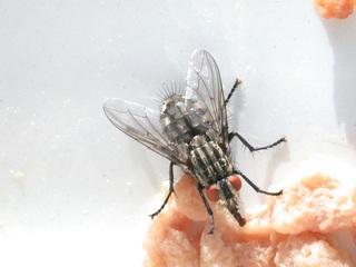 Stubenfliege - Biologie, Tiere, Insekten, Fliegen, Flügel, Rüssel, Fliege