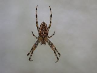 Kreuzspinne - Insekten, Spinnenarten, Kreuzspinne, Spinne