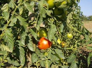 Tomatenpflanze im Garten - Tomatenpflanze, Tomate, Tomate, Pflanze, Paradeiser, Paradiesapfel, Nachtschattengewächs, Blätter, grün, rot, unreif, reif, einjährig