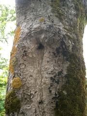 Nisthöhle #2 - Stamm, Baumstamm, Loch, Öffnung, Nisthöhle, hohl, Höhlenbrüter, Nestbau, Vogel, Schreibanlass, Flechten, Moos