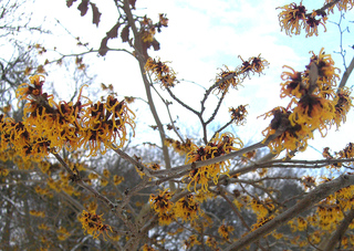 Zaubernuss #2 orange - Zaubernuss, Hamamelis, Heilpflanze, Zierpflanze, Baum, Strauch, Blüte, Blüten, Blütenkronblätter, Winter, Frost, winterhart, frosthart, orange