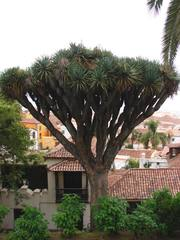 Drachenbaum (Dracaena draco,Teneriffa) - Dracaena, Drachenbaum, Kanarischer Drachenbaum, Teneriffa, Kanarische Inseln, Islas Canarias, Kanaren, Spargelgewächs