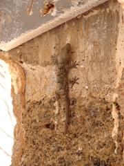 Gecko auf Mauerwerk (Teneriffa) - Gecko, haften, Echse, Adhäsion, Schuppenkriechtier, Reptil, Echse
