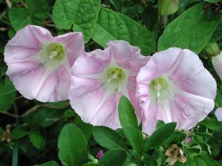 Ackerwinde - Ackerwinde, Convolvulus arvensis, Blütenpflanze, Windengewächse, Convolvulaceae, Blüten, drei