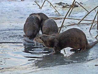 Fischotter im Winter - Fischotter, Otter, heimisch, Marder, Winter, Landraubtier, Säugetier