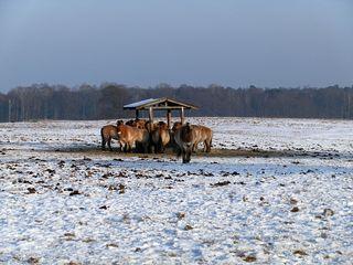 Przewalski-Pferde - Pferd, Pferde, Fütterung, Winter, Säugetier, wild, Equus ferus przewalskii, Takhi, Nutztier, Haustier, heimisch, Wildpferd, Przewalski-Wildpferd, Unpaarhufer, Wildform