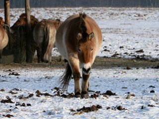 Przewalski-Pferd von vorn - Pferd, Pferde, Fütterung, Winter, Säugetier, wild, Equus ferus przewalskii, Takhi, Nutztier, Haustier, heimisch, Wildpferd, Przewalski-Wildpferd, Unpaarhufer, Wildform