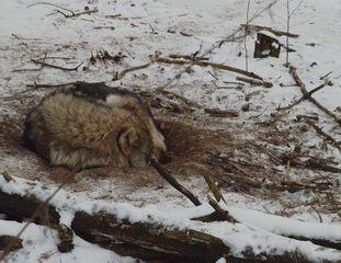 schlafender Wolf - Wolf, Raubtier, Säugetier, Fleischfresser, Rudeltier, Rudel, schlafen, Winterfell, Winter, Ruhe, Schlaf, schlafen