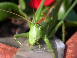 Heuschrecke grün - Kopf - Biologie, Tiere, Insekten, Heuschrecke, Grashüpfer, hüpfen
