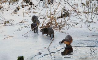 Vier Fischotter spielend am Teich - Fischotter, Otter, heimisch, Marder, Winter, Landraubtier, Säugetier, nass, spielen, neugierig