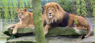 Löwe, Weibchen und Männchen nebeneinander - Löwe, Panthera leo, Löwin, Paar, Wildtier, Katze, Großkatze, Afrika, Mähne, Fell