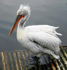 Pelikan am Wasser - Pelikan, Ruderfüßer, Wasservogel, schwimmen, rudern, fliegen, Schnabel, Wasser, Federn, Schwimmhäute