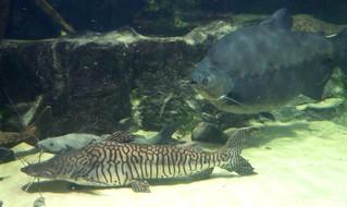 große Fische - Fische, Südsee, Aquarium, Bacu, Tigerspatelwels, Gabelbart