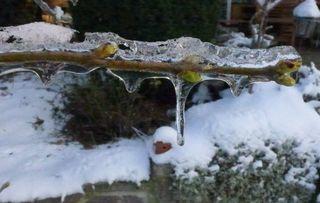 Kirschzweig - Kirsche, Zweig, Kälte, Eis, Eiszapfen, kalt, Tauwetter