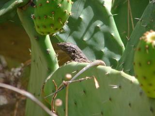 Eidechse  3 - Eidechse, Reptilien, Echsen, Lacerta, Kaktus, Lacertidae, Schuppenkriechtiere, Lava, Gallotia galloti eisentrauti, Tarnung, Teide, Teneriffa