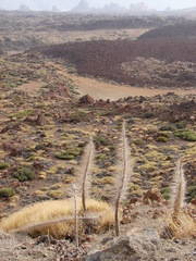 Wildpret-Natternkopf auf Teneriffa - Echium wildpretii, Teneriffa, Symbolpflanze, Wildprets Natternkopf, Stolz Teneriffas, Orgullo de Tenerife, echium, Fruchtstand.