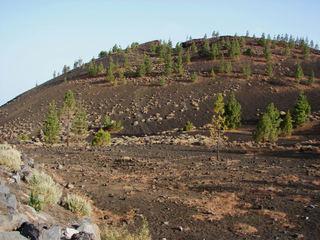 Trockenvegetation auf Teneriffa 1 - Kiefer, Teneriffa, Tuff, Tuffgestein, Kanarische Kiefer, Pinus canariensis, Kanaren-Kiefer genannt, Pinus, Pinaceae, endemisch.