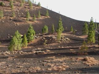 Trockenvegetation auf Teneriffa 2 - Kiefer, Teneriffa, Tuff, Tuffgestein, Kanarische Kiefer, Pinus canariensis, Kanaren-Kiefer genannt, Pinus, Pinaceae, endemisch.