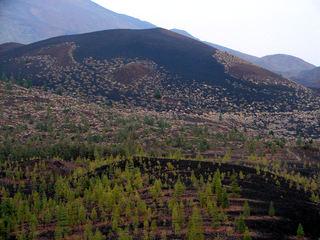 Trockenvegetation auf Teneriffa 3 - Kiefer, Teneriffa, Tuff, Tuffgestein, Kanarische Kiefer, Pinus canariensis, Kanaren-Kiefer genannt, Pinus, Pinaceae, endemisch