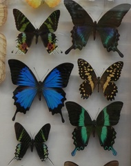 Schmetterlingsammlung - Schmetterlinge, Biologie, Zoologie, Tiere, Insekten, Gliederfüßer, bunt, Flügel