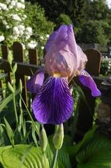 Schwertlilie (Iris) - Blume, Pflanze, Schwertlilie, Iris, Garten, Natur, Blüte, Knollen