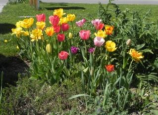 Tulpen - Frühblüher, Botanik, Garten, Tulpen, Blumen, Pflanzen, Frühling