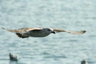 Möwe - Möve, Möwe, Flugbild, segeln, fliegen, Flügel, Schnabel, Laridae