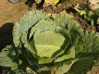 Weißkohl im Garten - Weißkraut, Kappes, Kaps, Kabis, Kraut, Gemüse, Vitamin, antibiotisch, Herstellung Sauerkraut, Krautkopf