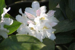 Rhododendronblüte - Rhododendron, Rhododendren, Heidekrautgewächs, Ericaceae, Blüte, Blüten, Blütenblätter, weiß
