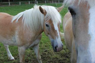 Zwei neugierige Haflinger - Haflinger, Pferd, blond, genügsam, trittsicher, geländegängig, klein, robust, füttern, Pferde, Haustier, Einhufer