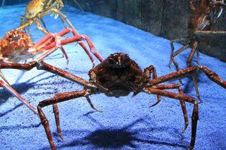 Japanische Riesenkrabbe#1 - Riesenkrabbe, Krabbe, Krebs, Krebse, Krebstiere, Krebsart, riesig, groß, Gliederfüßer, Gliedertier, Scheren, Allesfresser