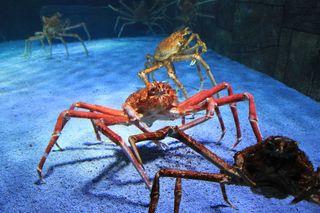 Japanische Riesenkrabbe#2 - Riesenkrabbe, Krabbe, Krebs, Krebse, Krebstiere, Krebsart, riesig, groß, Gliederfüßer, Gliedertier, Scheren, Allesfresser