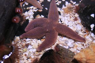 Fünfarmiger Seestern - Seestern, Meer, Seeanamonen, Blumentiere, Stachelhäuter, fünfarmig