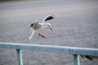 Fliegende Möwe - Möwe, Wasservogel, fliegen, Flug, Futtersuche, Fisch