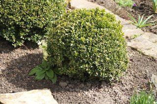 Buchsbaumkugel - Buchs, Buchsbaum, Kugel, zurückgeschnitten, beschnitten, Formschnitt, Formgehölze, immergrün, winterhart, Gartenkunst, Gartengestaltung