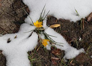 Frühlingsboten - Frühling, Krokus, Krokusse, Frühjahr, winterhart, Frühblüher, Blüten, Blumen, Schnee, Schwertliliengewächse, Iridaceae, Staubgefäß, Blütenblatt, gelb, Pflanze
