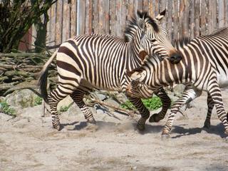 Hartmann Bergzebra - Zebra, Hengst, Kampf, Kämpfe, kämpfen, Revier, Hartmann-Bergzebra, Bergzebra, Verhalten