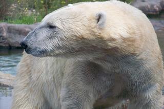 Eisbär - Eisbär, Polarregion, Nordpol, Arktis, Klimawandel, Verhalten, Zoo, Haltung, Einzelgänger