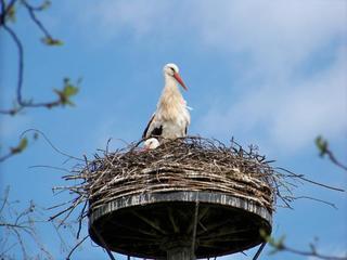 Weißstorch - Storch, Weißstorch, Klapperstorch, Schreitvogel, Zugvogel, Brutverhalten, brüten, Nest, Nistverhalten, Vogel, Artenvielfalt
