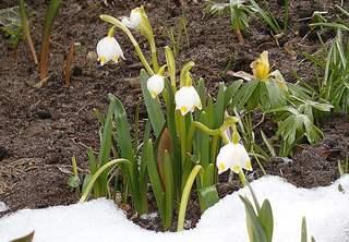 Märzenbecher - Märzenbecher, Märzbecher, Märzglöckchen, Frühlingsknotenblume, Frühling, Frühblüher, Zwiebelgewächs, Frühjahr, weiß