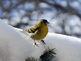 Vogel im Schnee - Erlenzeisig, Futter, Glocke, Futterglocke, Vogel, füttern, Fütterung, Finken, Fink